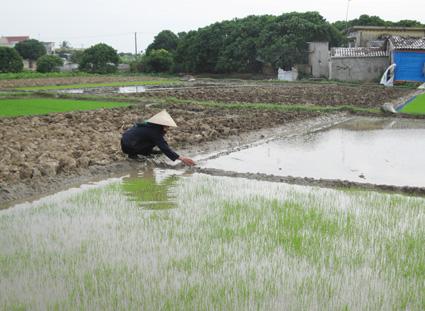 Nông dân xã Vĩnh Hòa (Ninh Giang) điều tiết nước để giữ ấm cho mạ