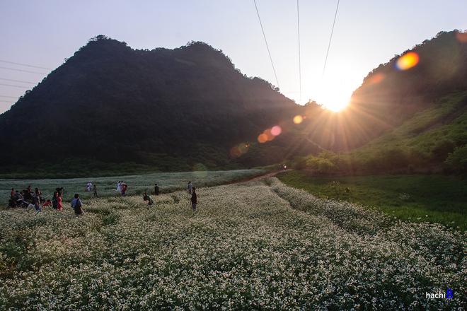 Cánh đồng hoa cải trong nắng sớm
