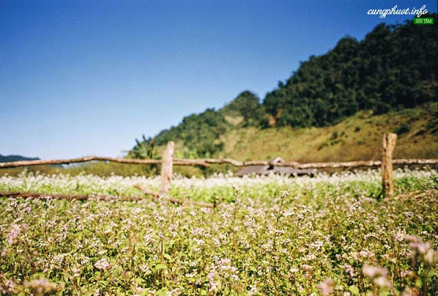 Hoa cải nở ở khắp các nẻo đường