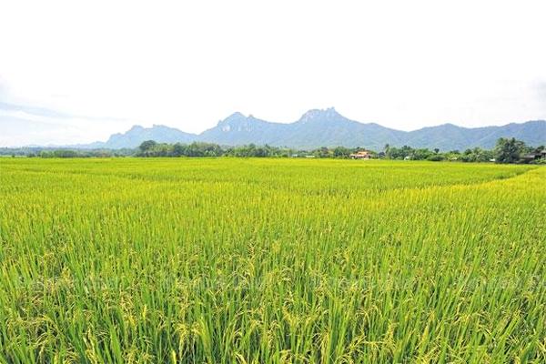 Những cánh đồng ruộng lúa nhiều màu sắc